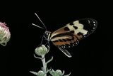 Mechanitis Sp. (Tigerwing Butterfly) Photographic Print by Paul Starosta