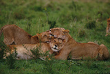 Lions Lounging in Grass Photographic Print by  DLILLC