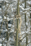 Bobcat Perched in Tree Fotografisk tryk af  DLILLC
