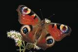 Inachis Io (Peacock Butterfly, European Peacock) Photographic Print by Paul Starosta