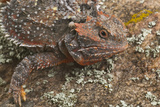 Short-Horned Lizard Camouflaging into Rock Photographic Print by  DLILLC