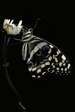 Papilio Demodocus (Citrus Swallowtail, Citrus Butterfly) Photographic Print by Paul Starosta