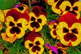 Pansies Photographic Print by André Burian