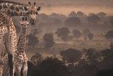 Giraffes in Africa Photographic Print by  DLILLC