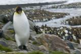 King Penguin Walking on Rocks Photographic Print by  DLILLC