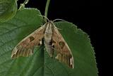 Mimas Tiliae (Lime Hawk Moth) Reprodukcja zdjęcia autor Paul Starosta