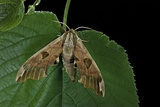 Mimas Tiliae (Lime Hawk Moth) Photographic Print by Paul Starosta