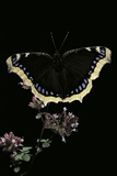 Nymphalis Antiopa (Mourning Cloak Butterfly, Camberwell Beauty) Photographic Print by Paul Starosta