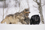 Gray Wolf Pack Digging in Snow Photographic Print by  DLILLC