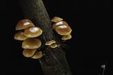 Flammulina Velutipes (Winter Mushroom, Velvet Shank, Enoki, Lily Mushroom) Photographic Print by Paul Starosta