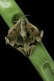 Mimas Tiliae (Lime Hawk Moth) - Mating Reprodukcja zdjęcia autor Paul Starosta