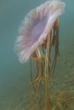 Floating Jellyfish Photographic Print by  DLILLC