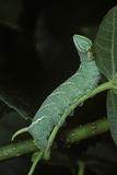 Mimas Tiliae (Lime Hawk Moth) - Caterpillar Reprodukcja zdjęcia autor Paul Starosta