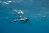 King Penguins Swimming Photographic Print by  DLILLC