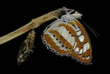 Athyma Perius (Common Sergeant Butterfly) - Just Emerged from Chrysalis Photographic Print by Paul Starosta
