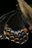 Papilio Aegeus (Orchard Swallowtail Butterfly, Large Citrus Butterfly) - Wings Detail of Male Photographic Print by Paul Starosta