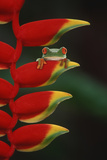 Red-Eyed Tree Frog on Hanging Heliconia Photographic Print by  DLILLC