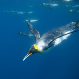 King Penguin Swimming Photographic Print by  DLILLC
