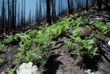Ferns Growing in Yosemite after Forest Fire Photographic Print by Dewitt Jones