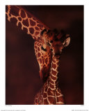 Giraffe Prints by Karl Amman