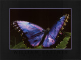 Blue Morpho Prints