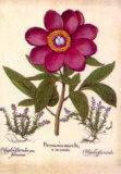 L'Herbier V Prints by Besler Basilius