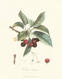 Cherries Prints by Pierre-Antoine Poiteau