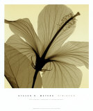 Hibiscus Poster par Steven N. Meyers