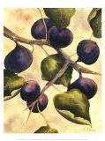 Italian Harvest, Figs Prints by Doris Allison