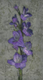 Purple Gladiola Art by John Seba