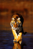 Tiger Walking Posters