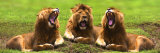 Lions Yawning Posters