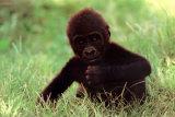 Gorilla Baby Posters