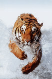 Tiger Running Through Water Posters
