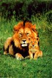 Löwe und Junges Poster