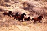 Mustang Horses Running, Wyoming Obrazy