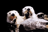 Sea Otters Posters
