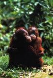 Orangutans Prints