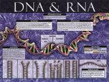 ADN et ARN Affiches