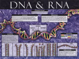 DNA & RNA Láminas