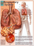 Le système respiratoire Affiches