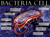 Bacteria Cell Poster