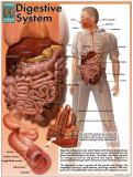 Système digestif Art