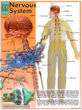 Nervous System Posters
