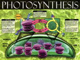 Photosynthèse Affiches