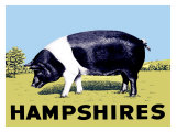 Cochon « Hampshires » Reproduction procédé giclée