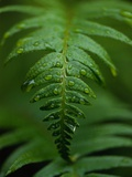 Fern Leaf Photographic Print by Doug Wilson