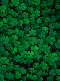 Clovers Photographic Print by Jim Zuckerman