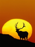 Bull Elk Outlined by Sun Photographic Print by Chase Swift