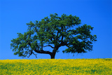 Oak in Blooming Meadow Photographic Print by Ralph A. Clevenger